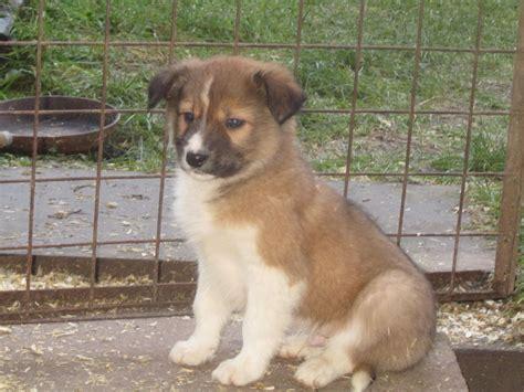 Black, white & tan Border collie pups for sale   Rhayader