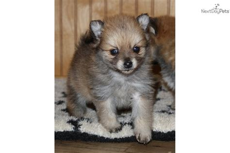 pomeranian puppies for sale oklahoma pomeranian puppy for sale near tulsa oklahoma 70e6a325 0e71