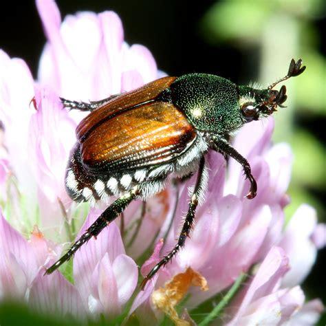 japanese beetle wikipedia