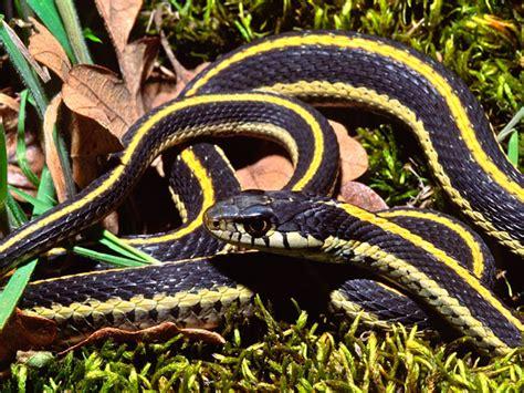 Garter Snake Alabama by Odfw Conservation Strategy News
