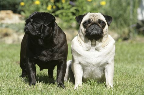 pugs info 10 awesome facts about pugs the pug diary