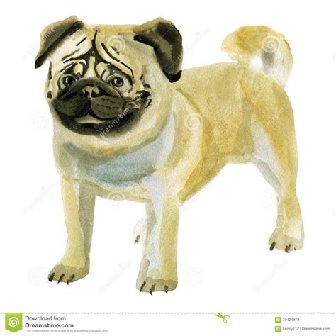 watercolor pug watercolor illustration of pug in white background stock illustration image