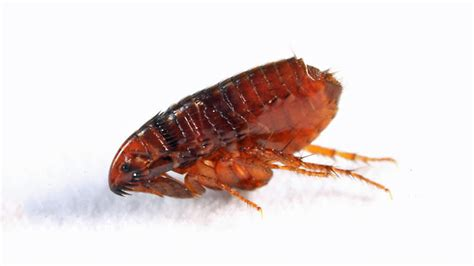 full grown bed bug how much does a flea exterminator cost