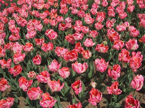 imagenes de jardines llenos de rosas fondos escritorio flores de jard 237 n rosas