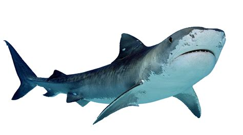Great White Shark Clip by Tiger Shark Clipart Baby Shark Pencil And In Color Tiger