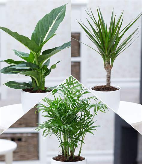 Zimmerpflanzen Kaufen 95 by Zimmerpflanzen Mix Quot Fresh Air Quot 3 Pflanzen G 252 Nstig