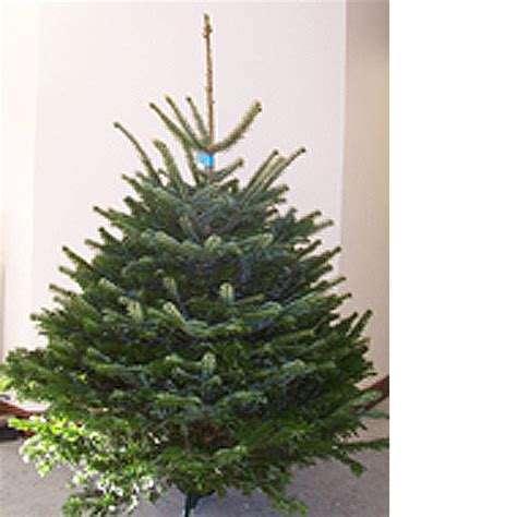 nordman fir christmas tree from eden christmas trees