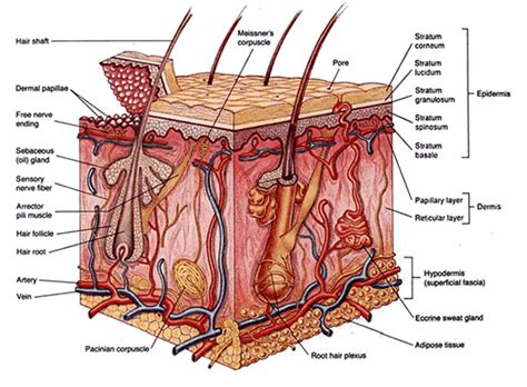 diagram of the skin introduction to wound healing