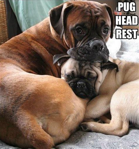Funny Boxer Dog Memes - funny pug dog meme pun lol bullies pinterest funny
