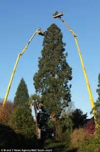 climbers wind 2 000 lights around tallest christmas tree