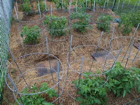 Garden Web Forum by How And When To Mulch Tomatoes For Best Tomato Care