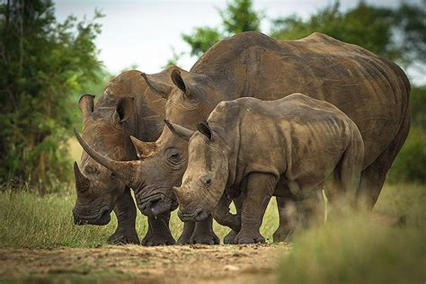 This Could Be the Worst Year Yet for Rhino Poaching | TakePart