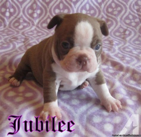 boston terrier puppies alabama boston terrier puppies for sale in cullman alabama classified americanlisted