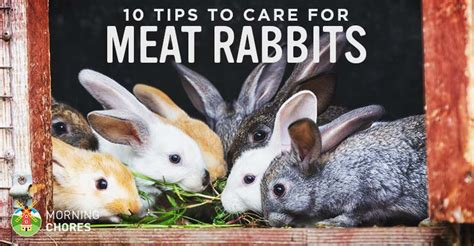 backyard meat rabbits backyard meat rabbits rabbit care guide 10 tips to care for your backyard meat