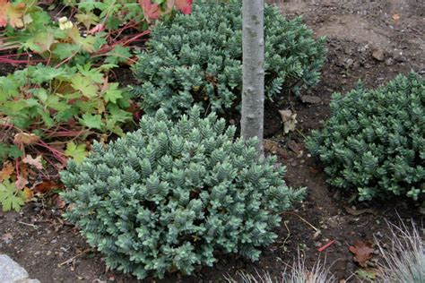 dwarf evergreens small shrubs santolina chamaecyparissus small shrubs lavendula