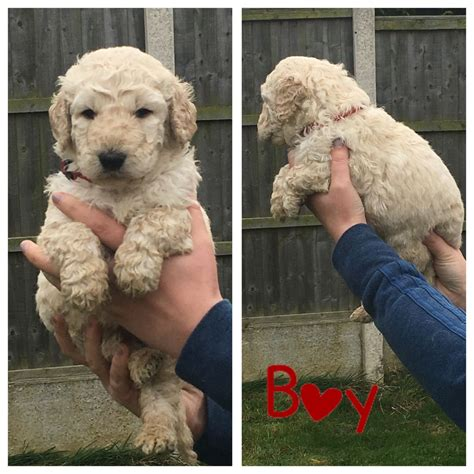 goldendoodle puppy for sale bc f1b standard goldendoodles ready tuesday sheffield