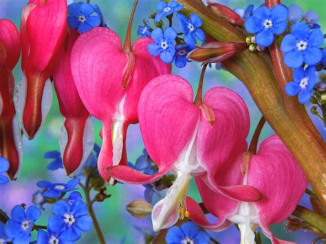 bleeding heart flowers wallpapers hd wallpapers id 5760
