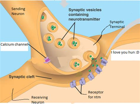 chemical synapse diagram image gallery synapse structure