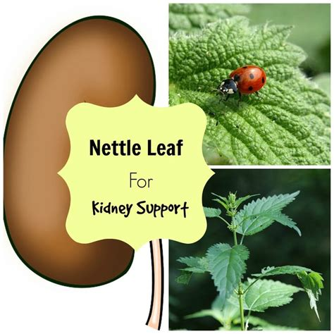 Nettles Liver Detox by 162 Best Kidney Disease Images On Health