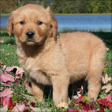 golden retriever gold coast akc registered golden retriever puppies for sale gold coast dogs for sale puppies