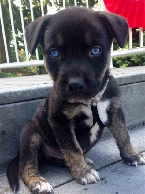 husky and pitbull mix puppies pitbull dachshund mix temperament breeds picture