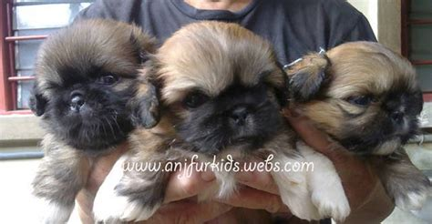 pekingese and shih tzu mix puppies pekingese shih tzu mix www imgkid the image kid has it