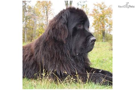 newfoundland puppies rescue adorable sweet newfoundland needs a new home 3 years for sale breeds picture