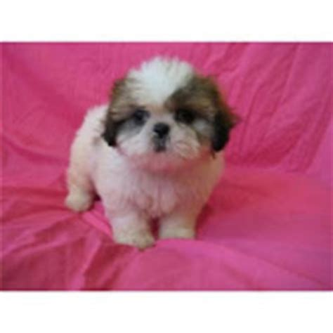 pocket shih tzu puppies for sale pocket size black wht and shih tzu puppies for sale durban free classifieds