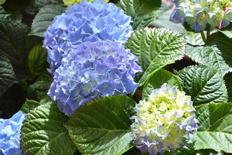 ortensie vaso ortensia come coltivarla in vaso o in giardino per una