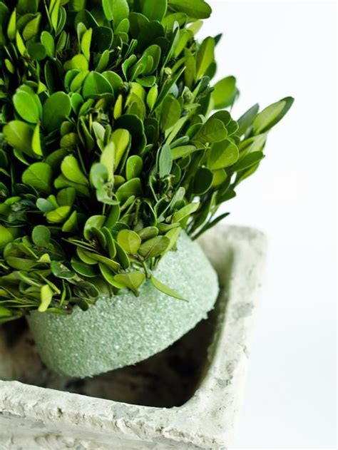 how to make a boxwood topiary how to make boxwood topiaries we topiaries