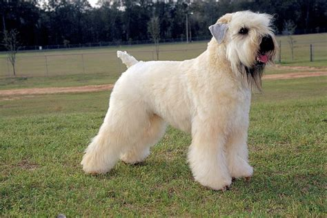 akcwheaton cut soft coated wheaten terrier dog breed information sheds