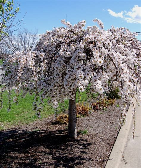 9 cherry tree snow 174 weeping cherry low form