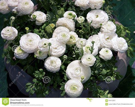 immagini di fiori bianchi piante ranuncolo con i fiori bianchi su primavera