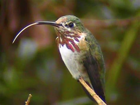 what does baby hummingbirds eat motavera com