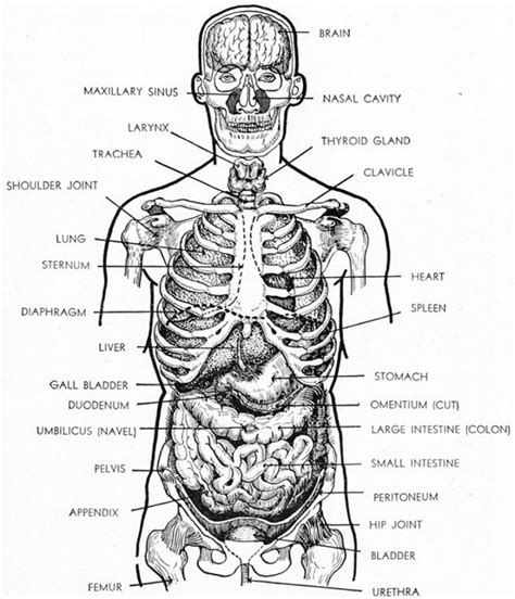 human organs diagram diagrams of organs printable diagram site