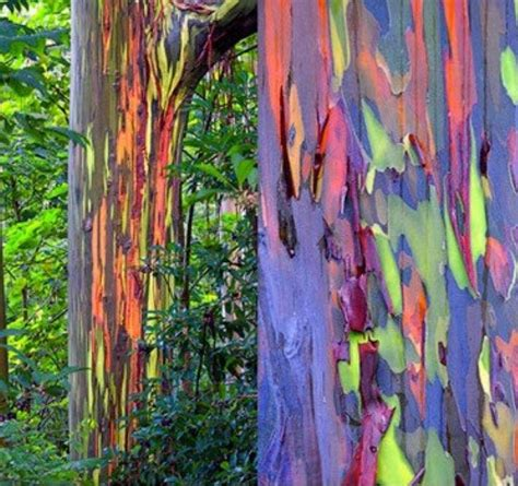 rainbow trees rainbow eucalyptus tree bark pattern shop bark