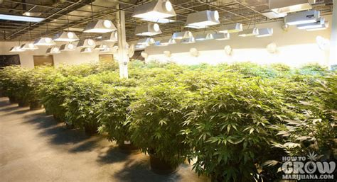 indoor marijuana grow lights how to grow marijuana indoors
