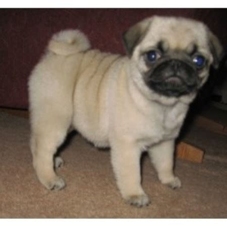 pugs in ohio sweet apple pugs pug breeder in vincent ohio listing id 16090
