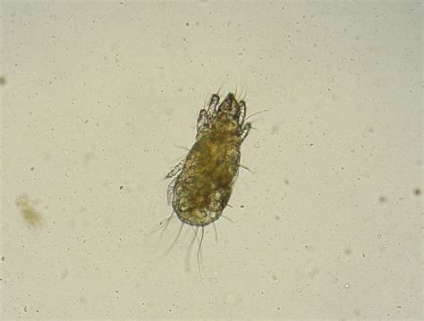puppy mites file grain mite 1 jpg wikimedia commons