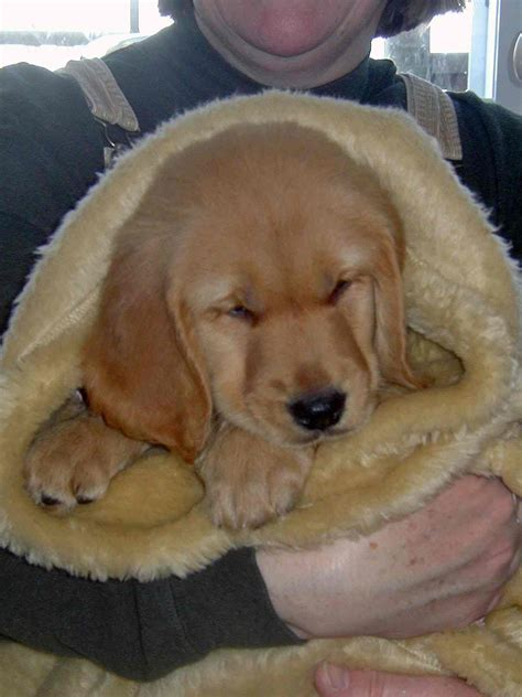 golden retriever rescue ny nj golden retriever rescue nj puppies assistedlivingcares