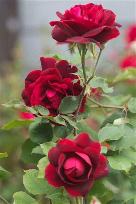 menanam  merawat bunga mawar  stek