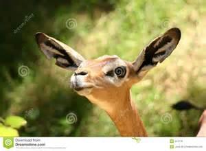all ears deer gerenuk royalty free stock images image