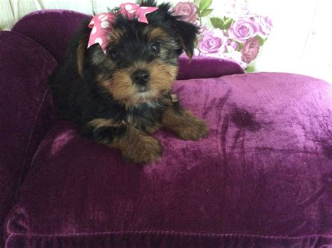 kc yorkies kc reg terrier puppy southend on sea essex pets4homes