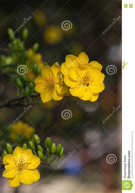 new year flower tradition yellow apricot blossom closeup hoa mai stock photo
