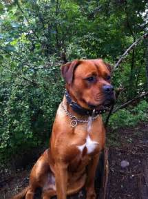 boxer x rottweiler puppies 79 best boxweilers images on puppies boxers and pup