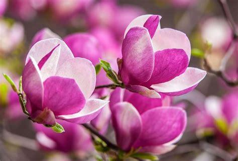 immagini magnolia fiore fiori magnolia fiori di piante i fiori della magnolia