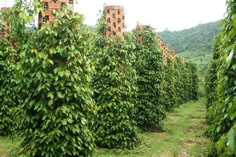Lada Hitam Perdu black pepper seed therapy sujok therapy
