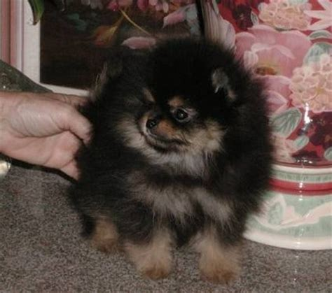 puppies for sale inland empire pomeranian inland empire pomeranian dogs puppies for sale ebay classifieds