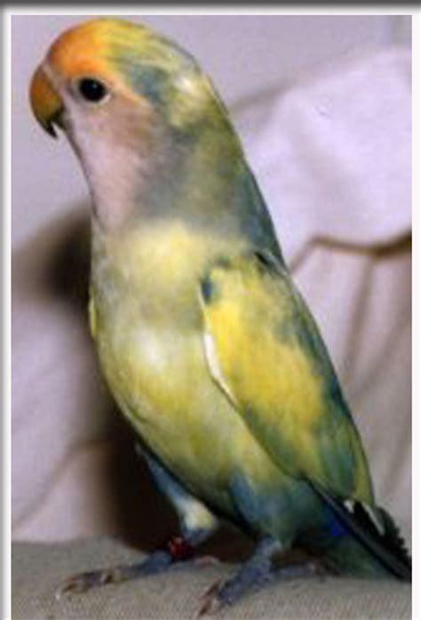 gambar burung labet lovebirds biru gambar hidup