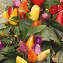 Benih Bibit Seed Cabe Bishop Crown Pepper Cabe Unik Bentuk Mahkota bibit bunga clover